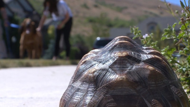 Harold, a 4-year-old female Sulcata tortoise, was missing for several days earlier this month but was found by 10-year-old Copper, a bloodhound who worked for the West Valley Police Department. The two were reunited in Herriman on Monday, July 23, 2018.