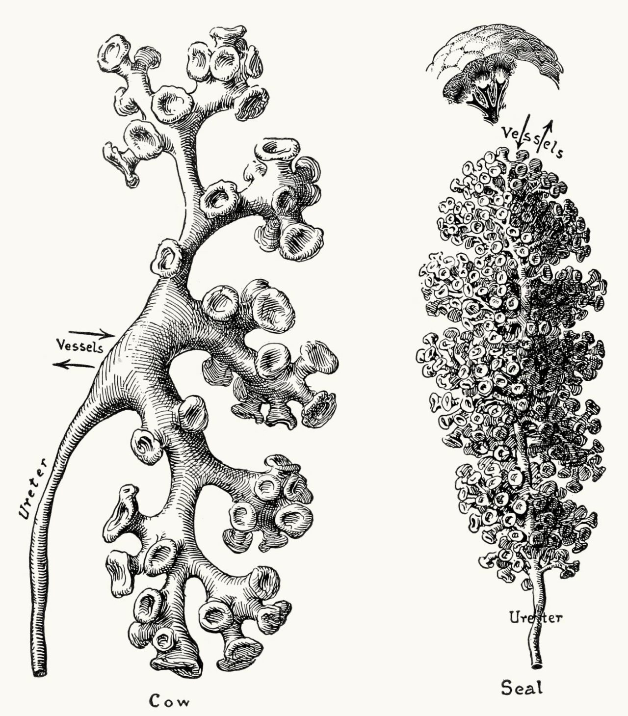 Oldbookillustrations Diagrams Of Casts Of Renal