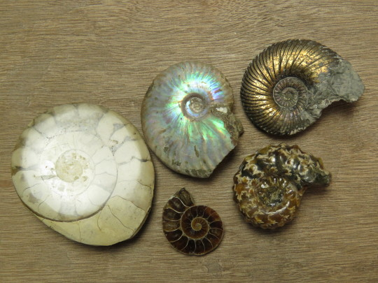 Different types of ammonite fossils.