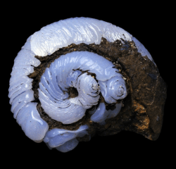bijoux-et-mineraux:  Helix Ramondi (land snail) epigenised in blue Lussatite Opal-CT - Dallet, Puy-de-Dôme, France