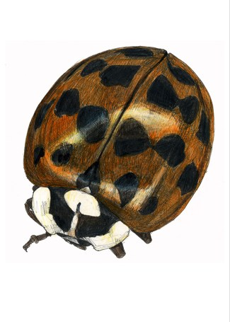web_ladybird
