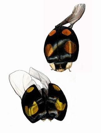 web_ladybirds