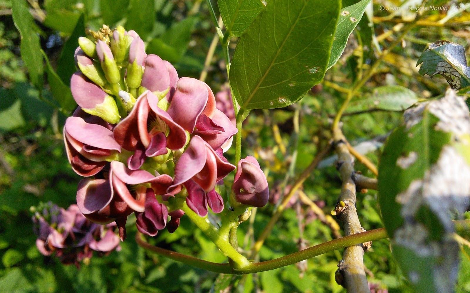 La glycine tubéreuse aux jardins partagés