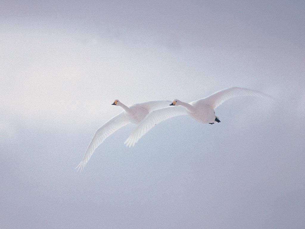https://i1.wp.com/7art-screensavers.com/screenshots/birds/white-swans.jpg