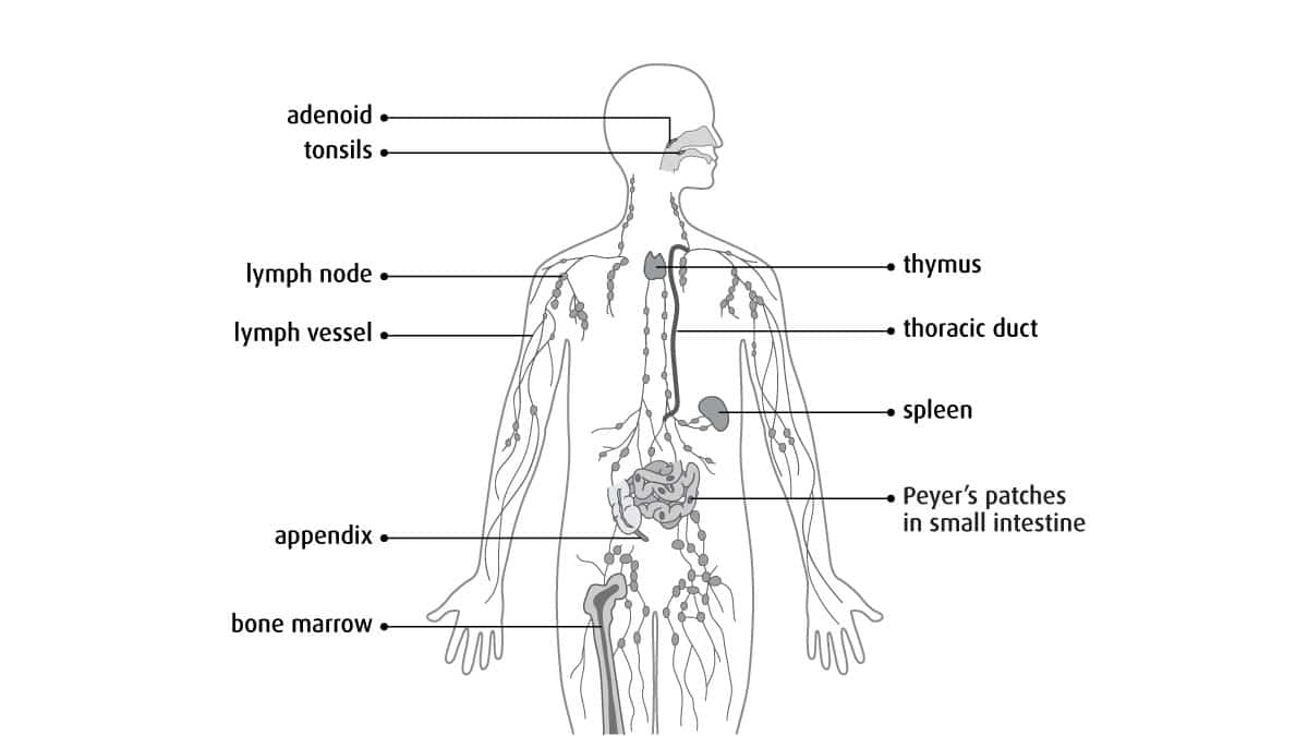 The Benefits of Lymphatic Drainage Massage What is the Lymphatic System
