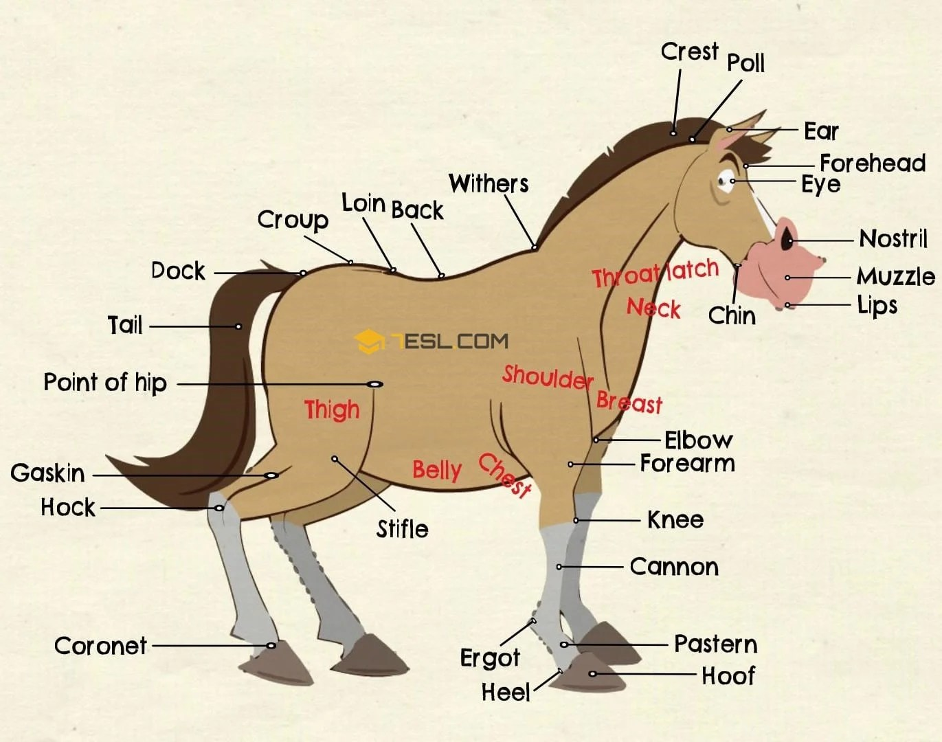 Parts Of A Horse Useful Horse Anatomy With Pictures