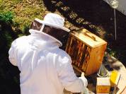 Looking for any remaining bees in the honey box.