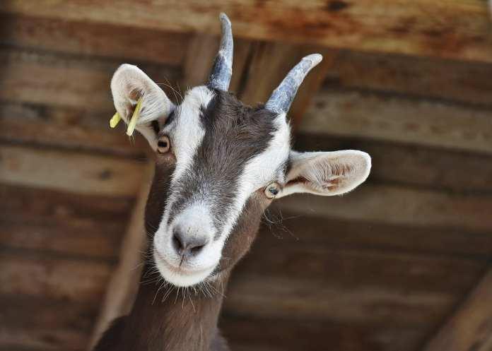 В Спасском районе объявили карантин из-за бешеной козы