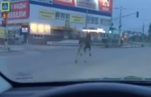 В Рязани сняли на видео бегущего по дороге лося