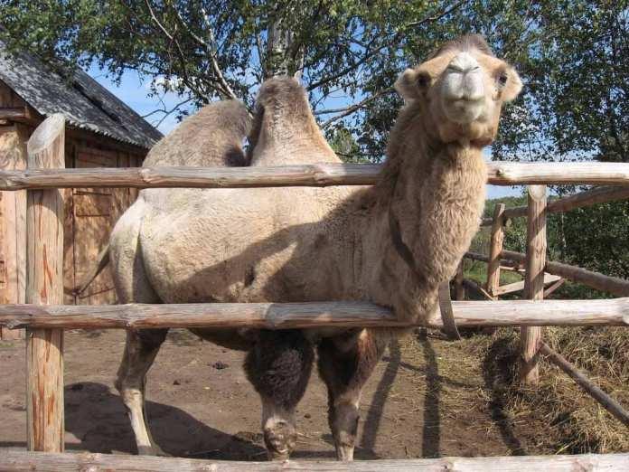 В музее недалеко от Шацка умер верблюд