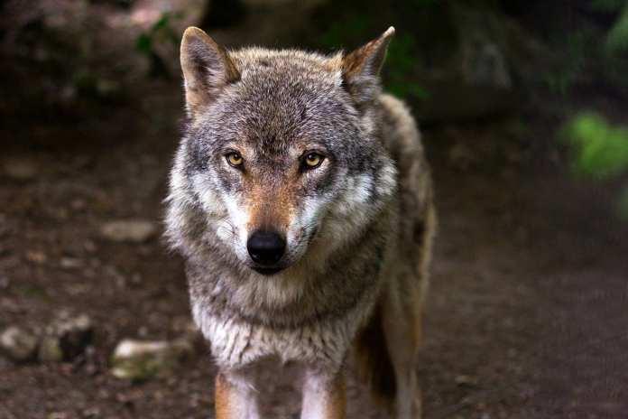 В Астрахани на берегу водоема волчица напала на охотника