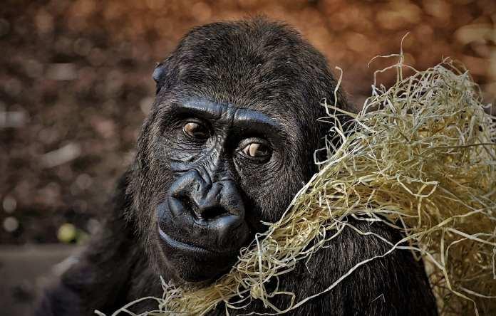 В США тесты на ковид у горилл дали положительный результат