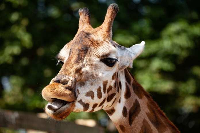 В Ростовском зоопарке живёт уникальная жирафиха