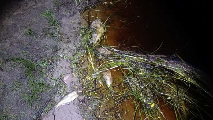 В рязанской реке Пра массово гибнет рыба