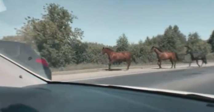 Под Рязанью засняли выбежавших на дорогу лошадей