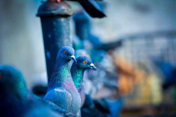 В Череповце голуби склевали разделительную полосу