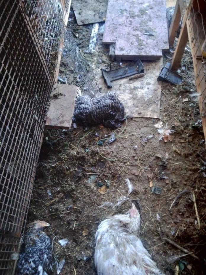 На окраине Рязани неизвестный зверь массово убивает домашних животных и птиц