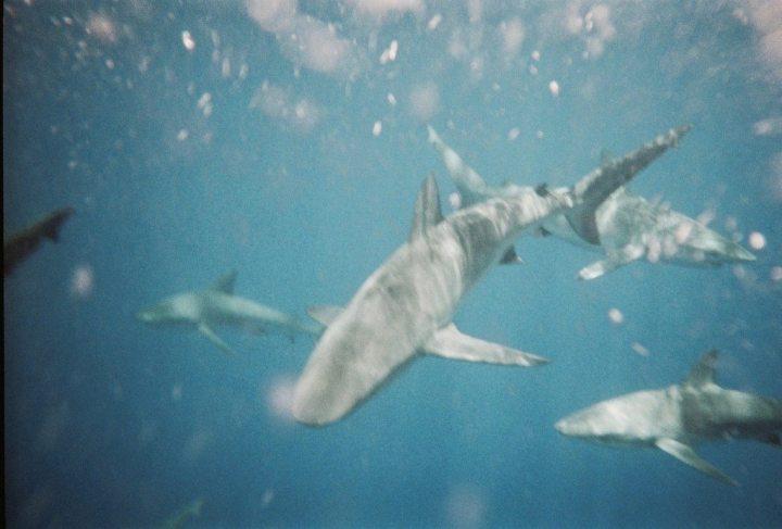 Haifische Hawaii