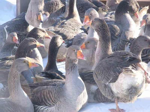 Породы гусей домашних и диких с описанием и фото