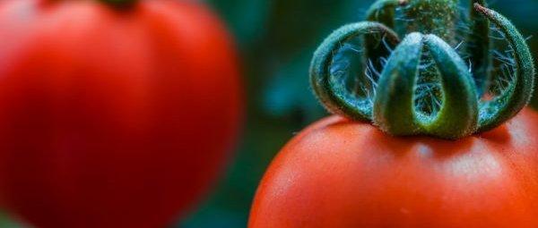 Томат пудовик: отзывы, фото, урожайность, характеристика и ...