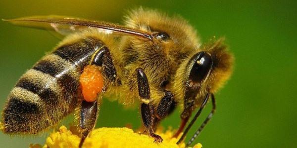 Жало пчелы. Что будет, если не вытащить жало пчелы