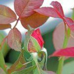 Энциклопедия красного цвета || Почему у розы красные листья — природные особенности и болезни цветка