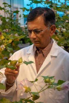 Dr. Keerti Rathore, Texas A&M AgriLife Research plant biotechnologist.