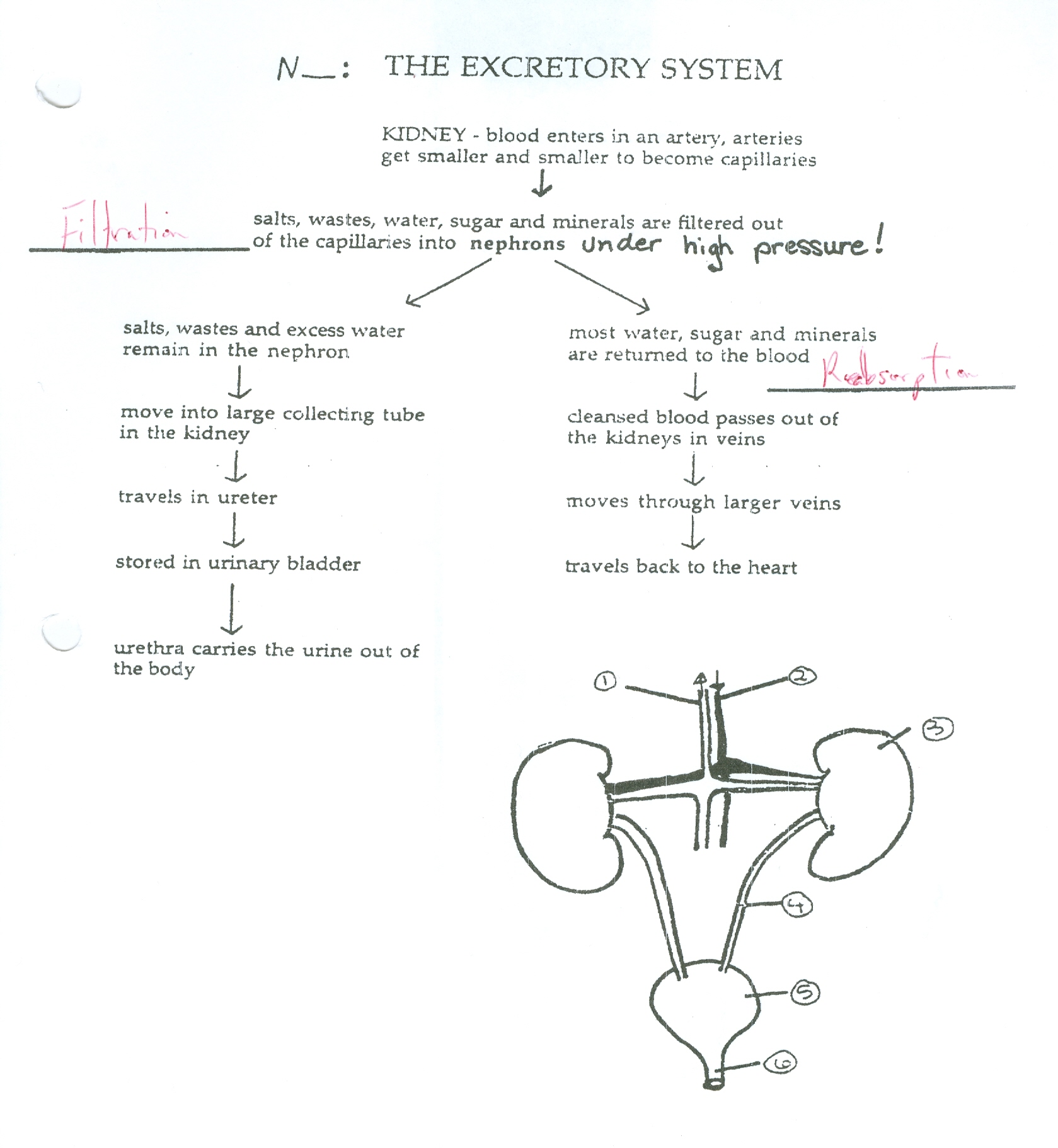 Urinary System Worksheet Reading