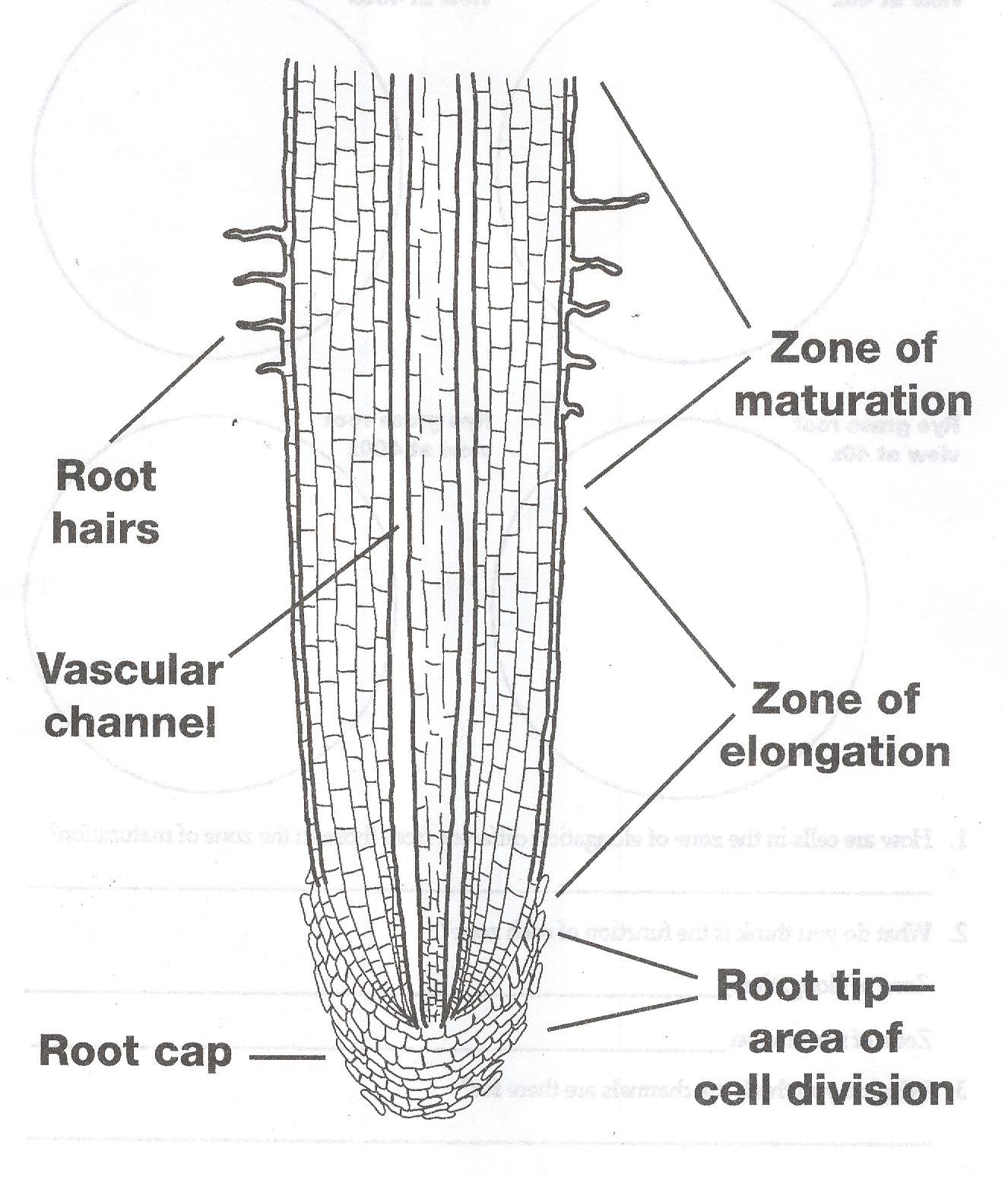 Diagram Of The Human Cell