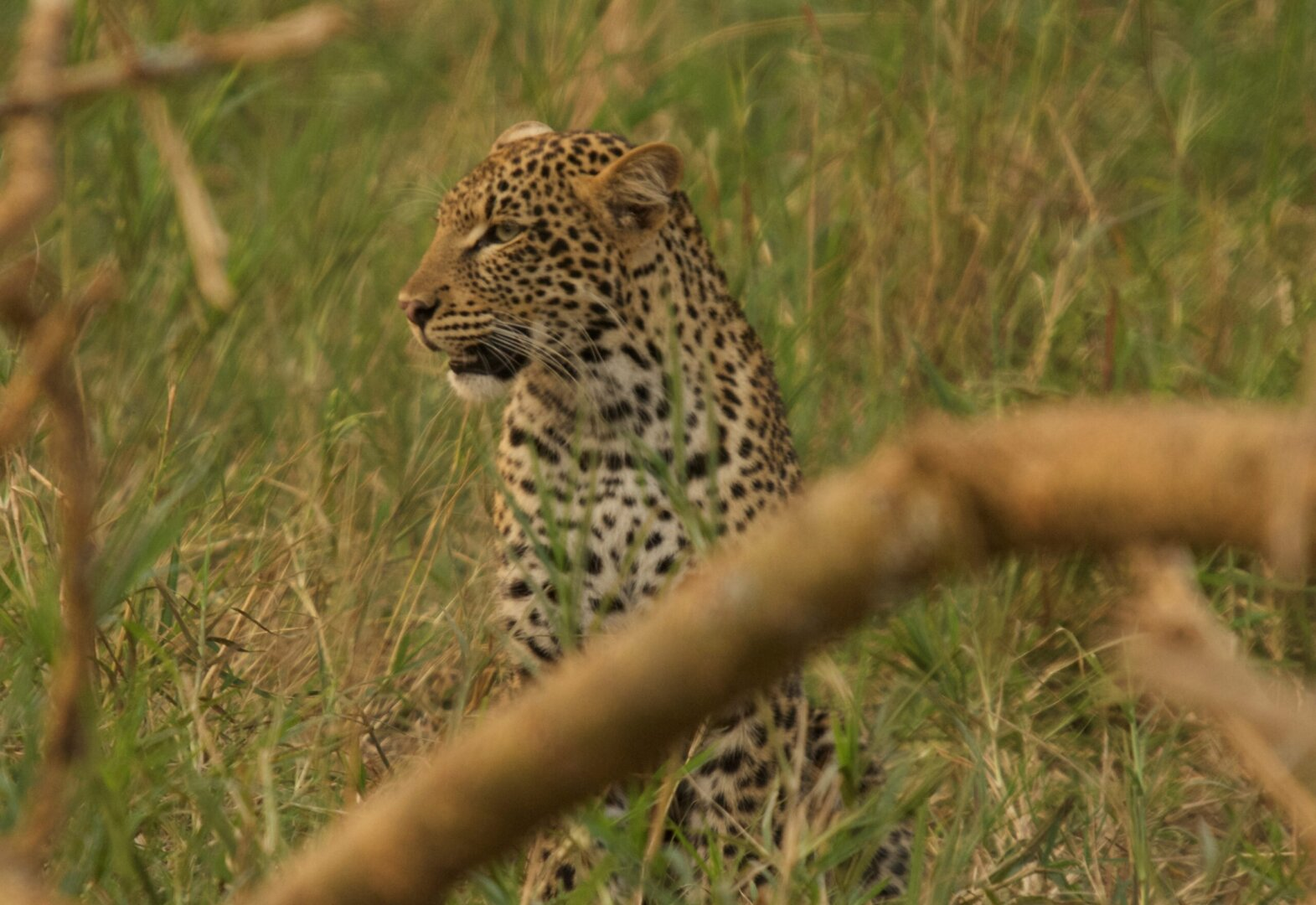 leopard akagera national park (3)