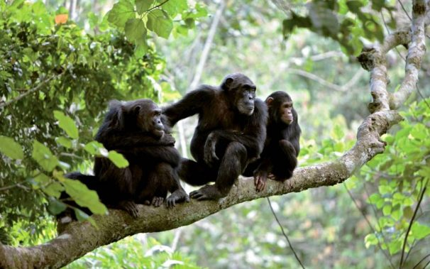 mahale chimp trekking