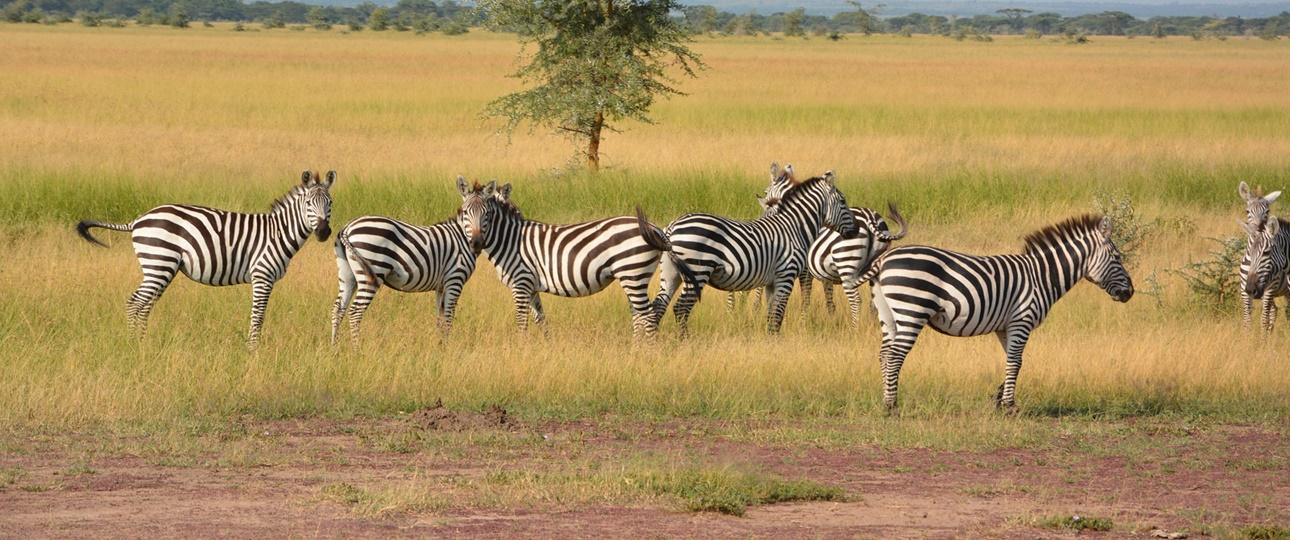 serengeti plain Zebra