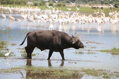 Buffalo in Lake Manyara