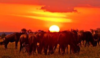 Migration Maasai Mara