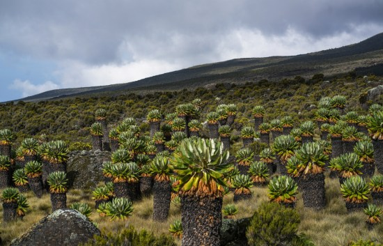 Vegetation Mt Kilimanjaro