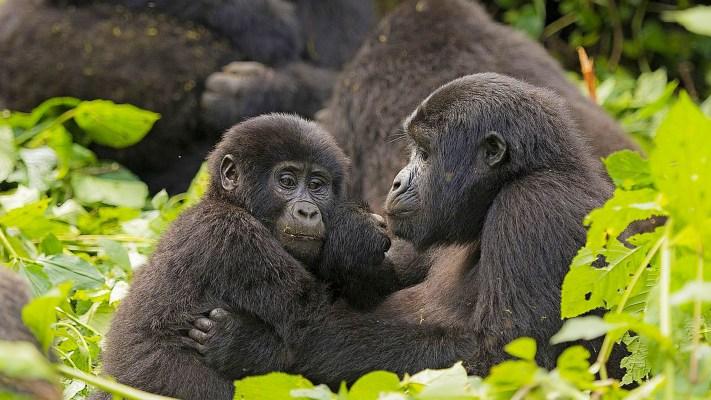 bwindi-impenetrable-national-park-destinations-uganda-maasai-wanderings-africa-mother-child-gorilla