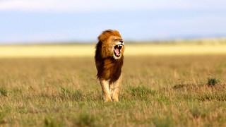 lion of maasai mara