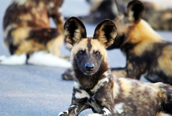 wilddogs selous