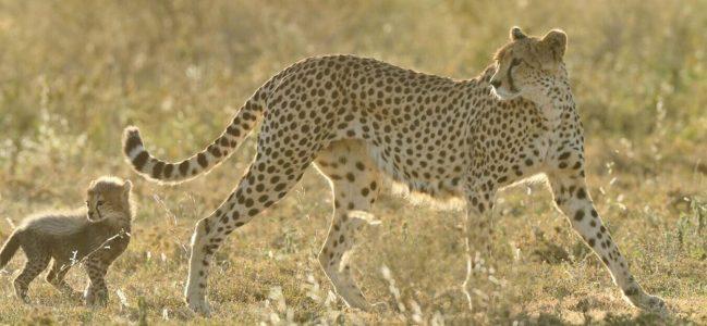 Ndutu-Cheetah.jpg