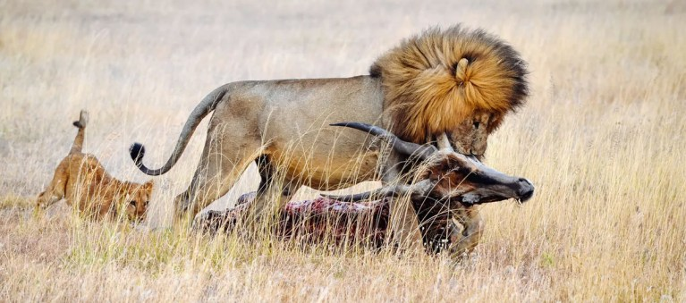 Lion Dragging its Pray
