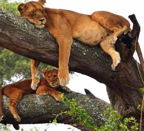 11-Days-Uganda-Gorilla-Trekking-and-Tanzania-Wildlife-Safari.