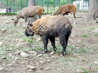 The takin, Bhutan's unusual national animal