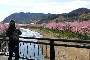 河津桜・静岡
