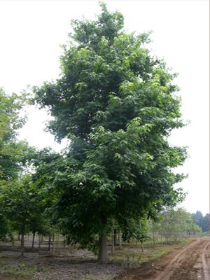 アメリカフウ単木6.0m