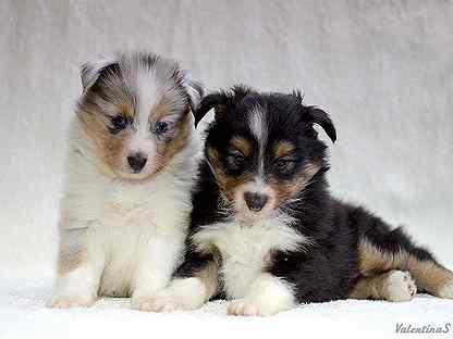 Собаки и щенки породы Шелти - купить из питомников и ...