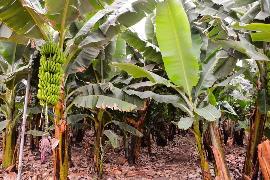 green bananas on banana tree due to lack of biodiversity