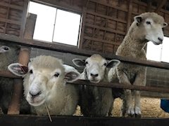 池袋JK制服キャバクラ【はちみつくろーばー】羊