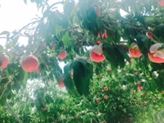 池袋JK制服キャバクラ【はちみつくろーばー】みるく フルーツ狩り