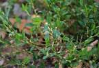 Травка-муравка (спорыш)