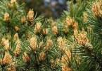 Пыльца сосны – природный биостимулятор